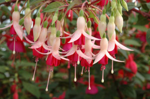 group of pink fuchsias